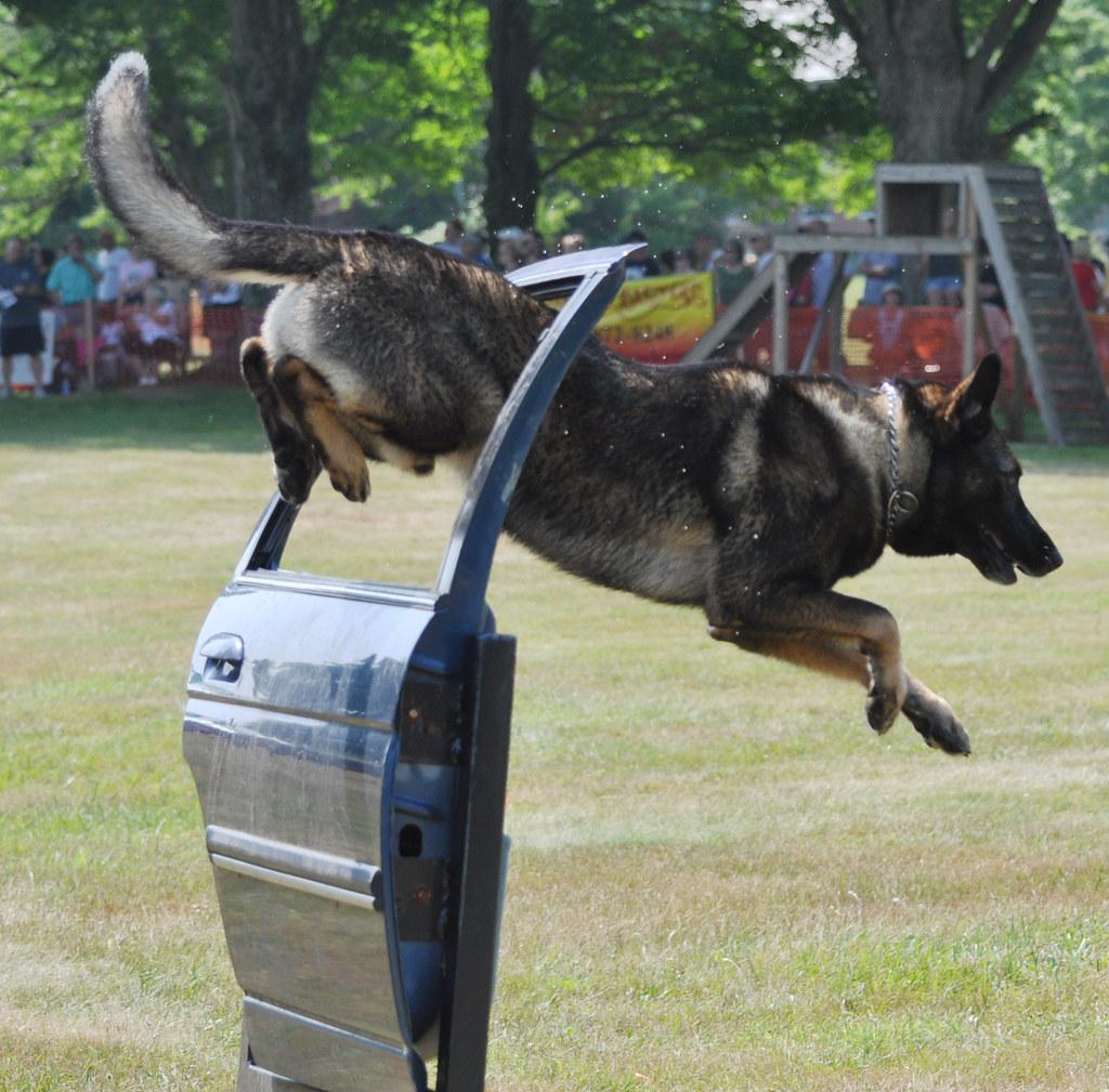 Doberman Police Dog Training