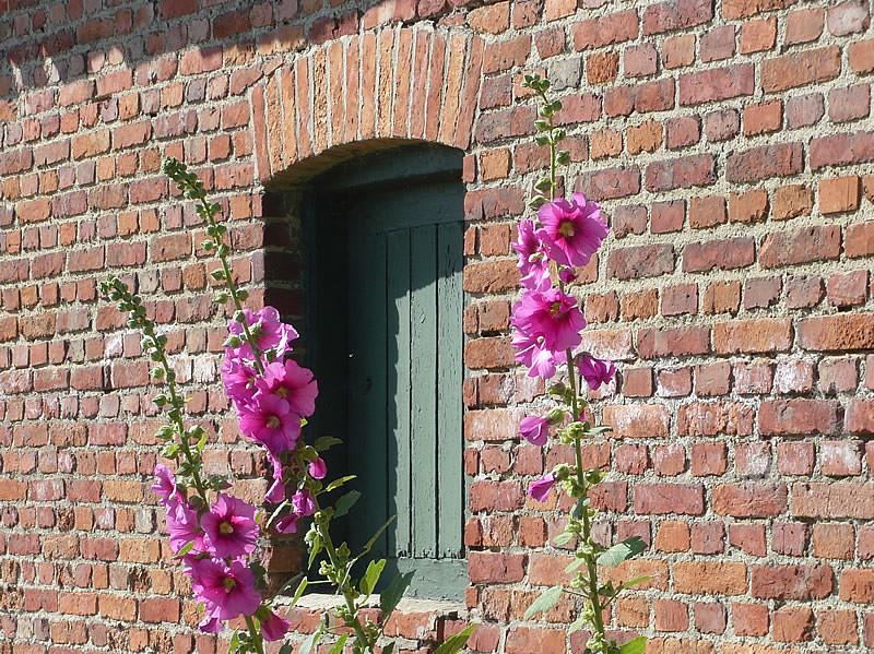 roses tr mi res sur le mur de la ferme le rose vif des. Black Bedroom Furniture Sets. Home Design Ideas