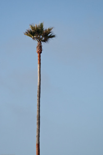 Tall skinny palm tree. | by mikebaird