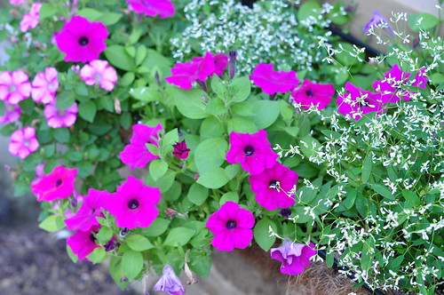 petunias | by pearlsandprose