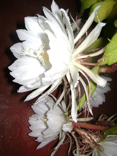 epiphyllum_bloom | by _DrInE_