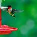 Ruby-throated Hummingbird (Crop)