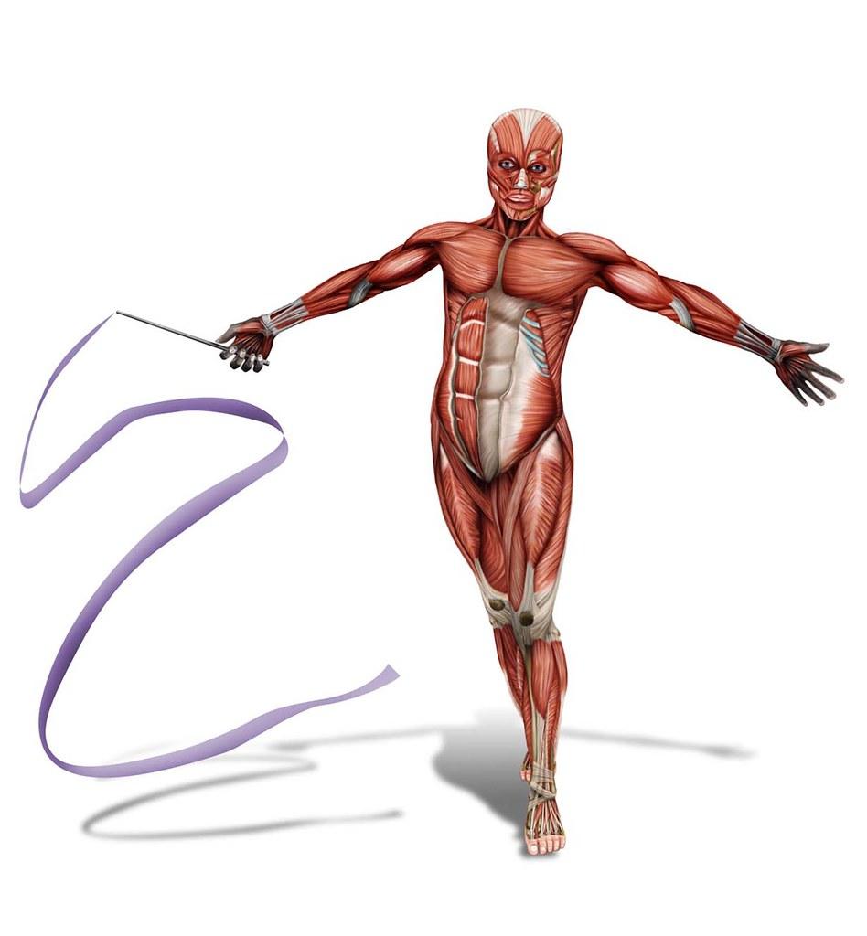 Sistema muscular | Ilustracion digital | Jhon Jairo Barinas ortegon ...