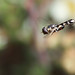 Hoverfly Syritta pipiens in flight #2