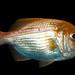 Centroberyx affinis, Redfish