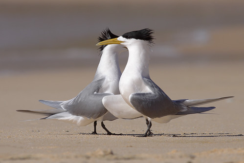 Crested Terns | by 0ystercatcher