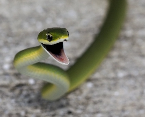 Rough Green Snake Yamato Scrub Boca Raton Fl It Was