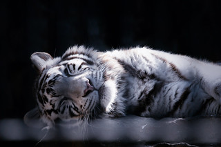 Sleeping white tiger | by reonis