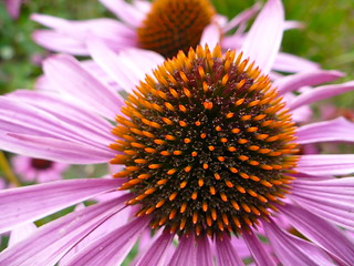 Echinacea | by London looks