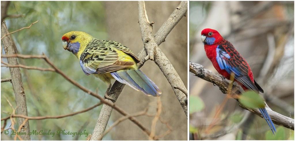 黃玫瑰鸚鵡(左)與深紅玫瑰鸚鵡(右)。圖片來源:Brian McCauley(CC BY-NC-ND 2.0)與Paul Balfe(CC BY 2.0)。