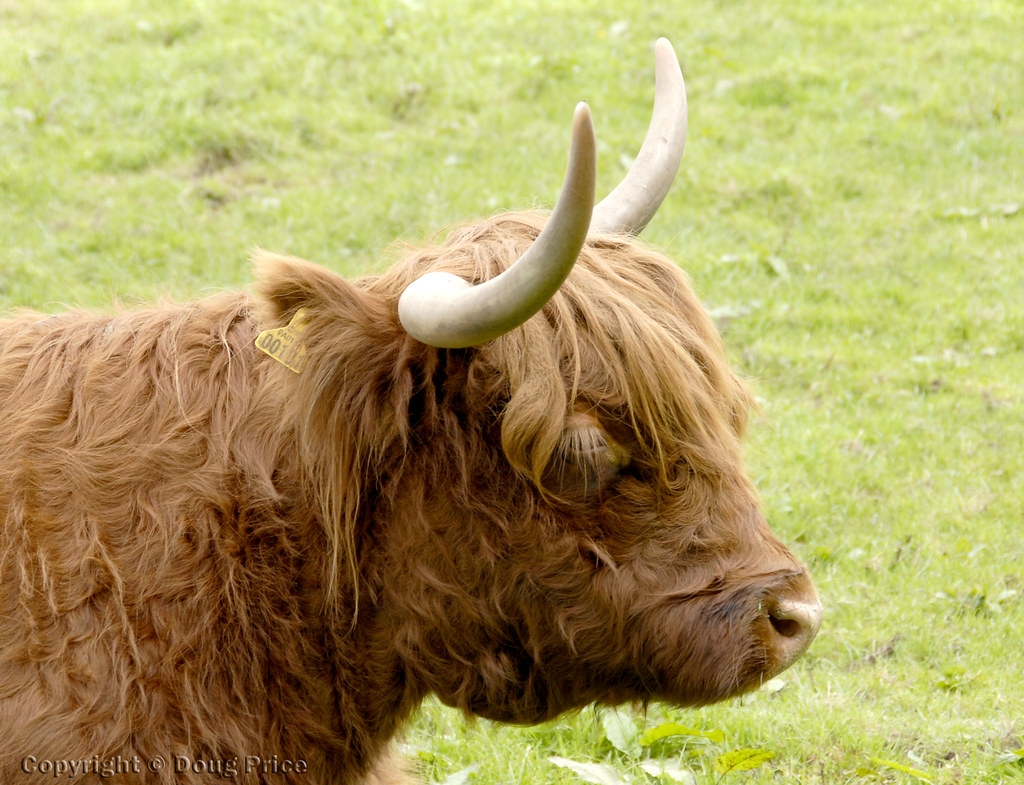 Highland Cow With Very Long Eyelashes Doug Price Flickr