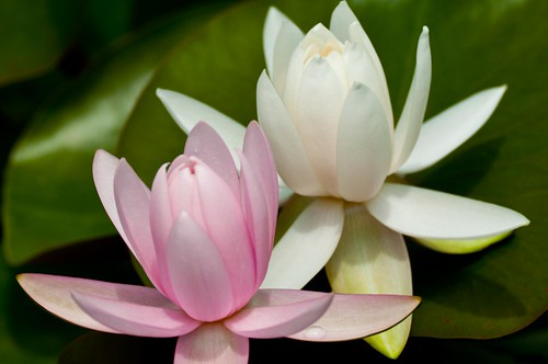 white and pink water lilies | by innerMt