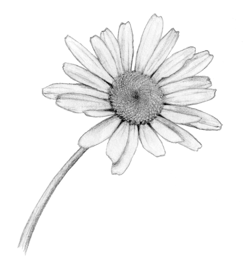 Aster Flower Line Drawing : Daisy flower drawing tumblr sketch coloring page