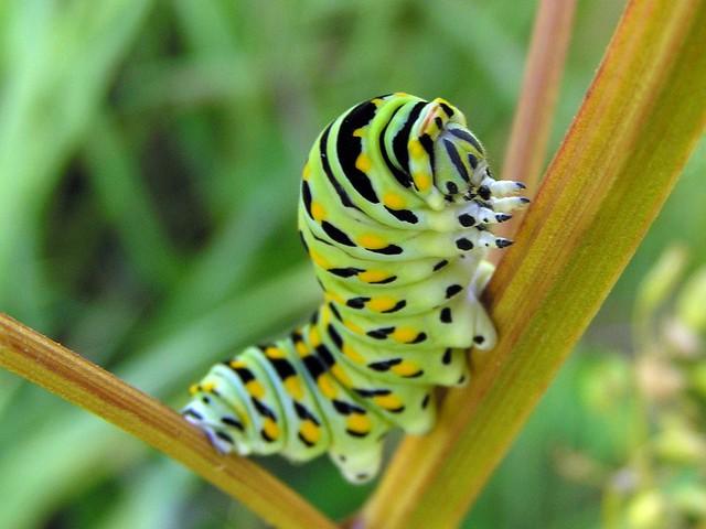 Schaus swallowtail caterpillar