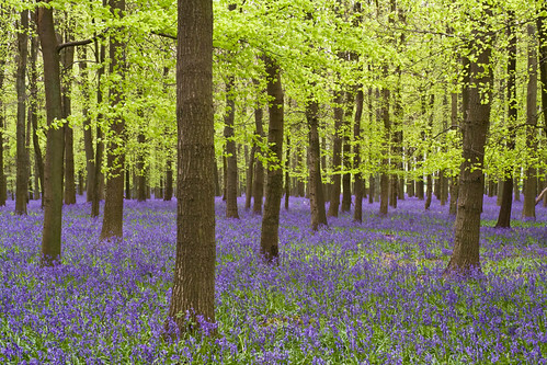 Nothing but Bluebells | by sparkleshots (trying to catch up)