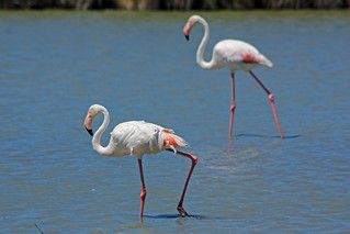 Flamingos in the Camargue | by Andrea Schaffer