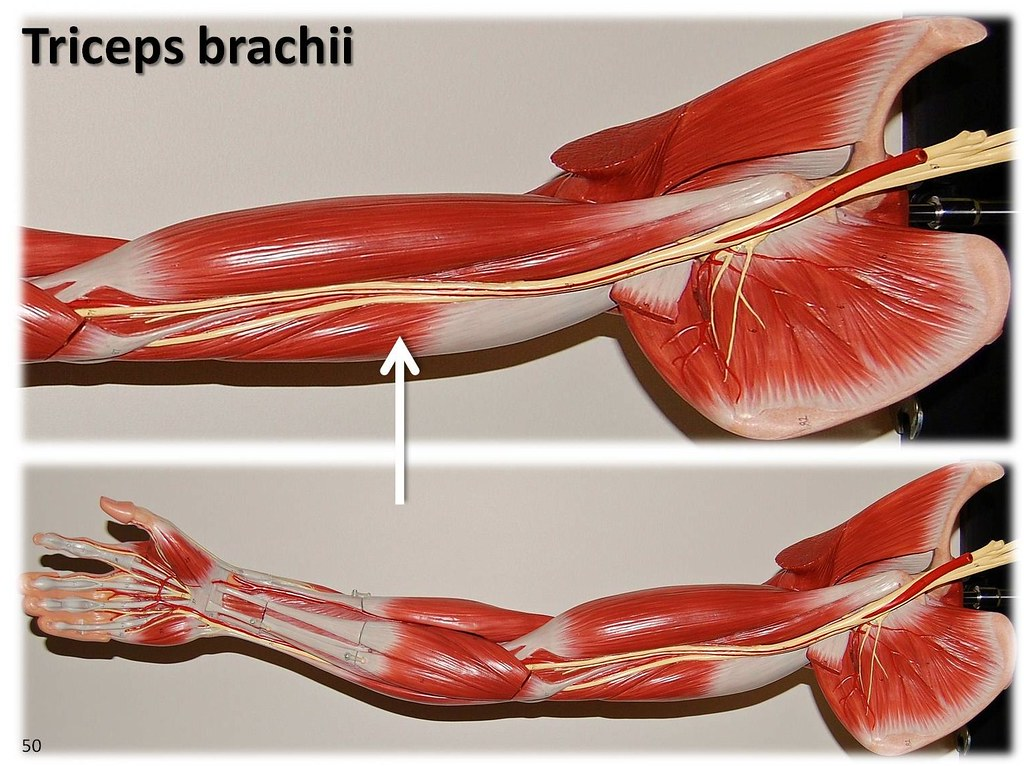Triceps brachii, large arm model - Muscles of the Upper Ex