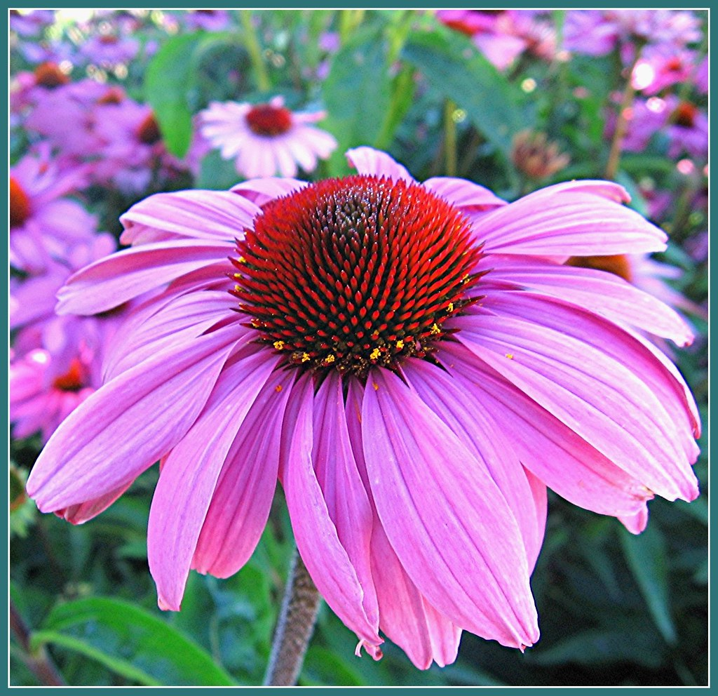 Dancing in the breeze echinacea or cone flower flickr dancing in the breeze by mary faith izmirmasajfo