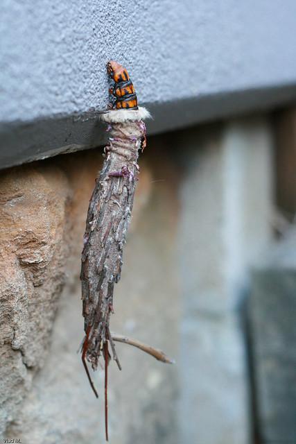 Saunders' Case Moth, Metura elongatus   Flickr - Photo ... As Seen On Tv