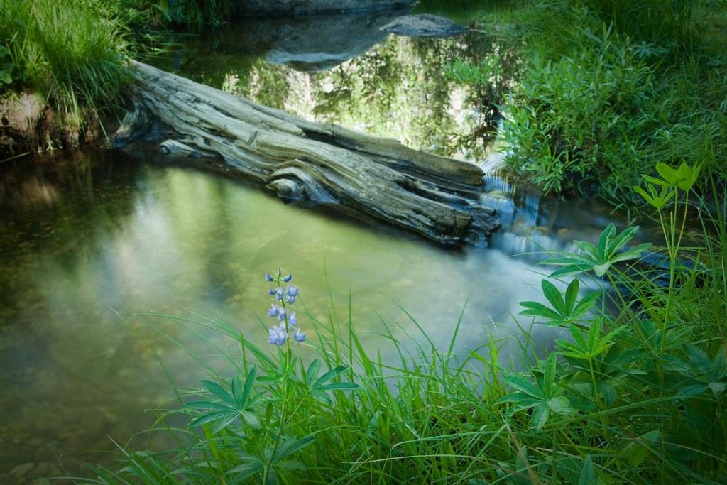 Water Log Water Large Leaved Lupine Lupinus Polyphyllus