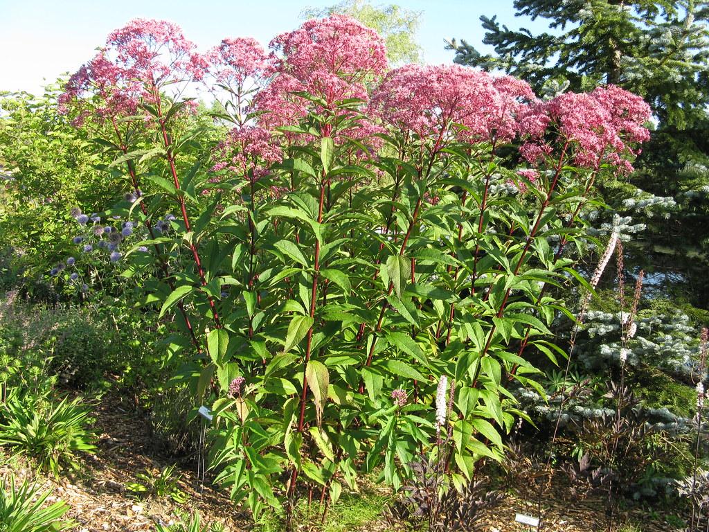 Eupatorium purpureum joe pye weed kingsbrae garden flickr for Joe pye weed