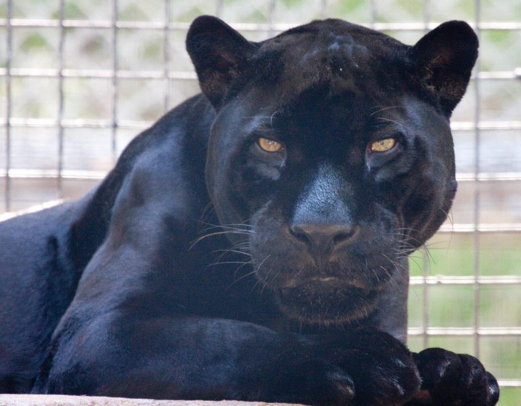 ... Orson The Black Jaguar | By San Diego Shooter