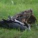 Goshawk killing Grey Heron