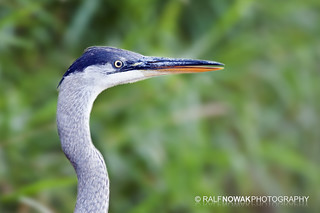 Great Blue Heron | by Ralf Nowak