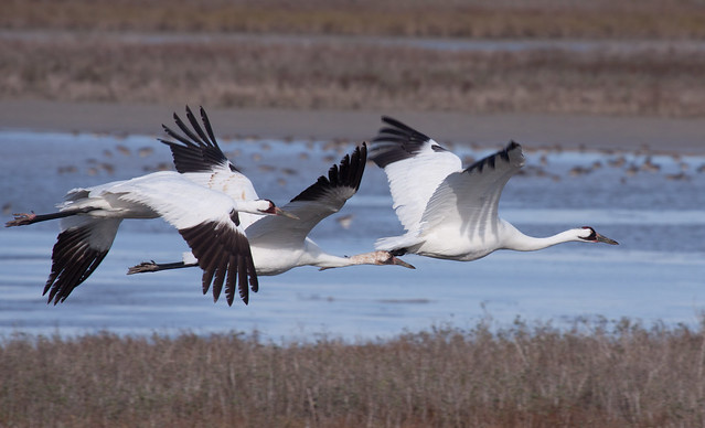 Whooping Cranes at Aransas National Wildlife Refuge
