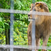 A Lion's Stare