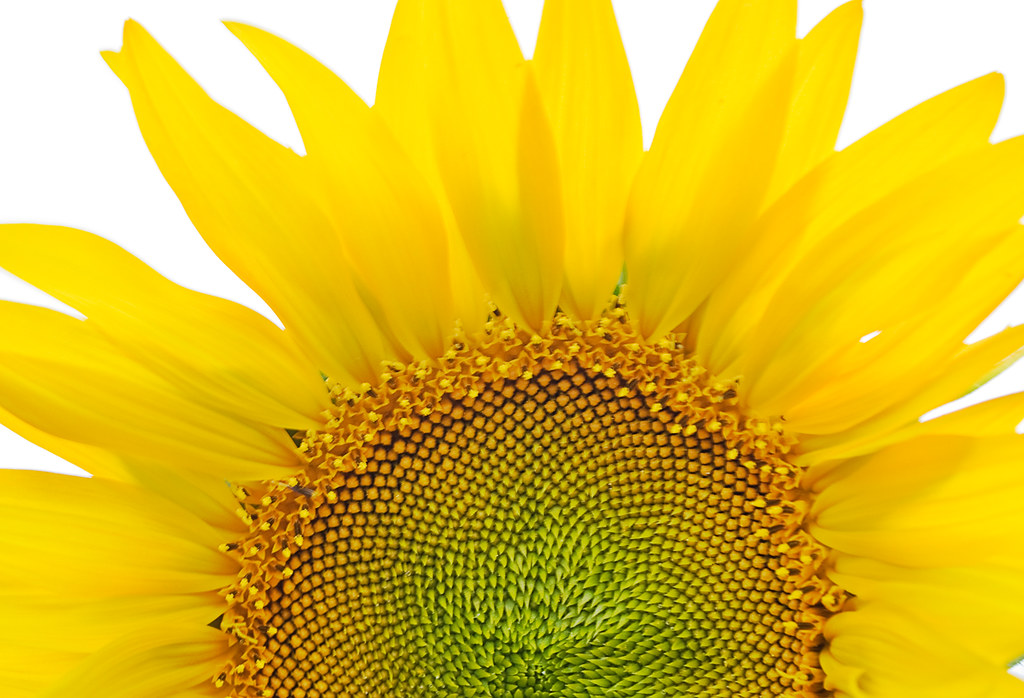 Girasol / Sunflower