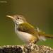 Tailor Bird @ Bhubaneswar 2