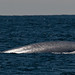Shown here is a Blue Whale (Balaenoptera musculus)