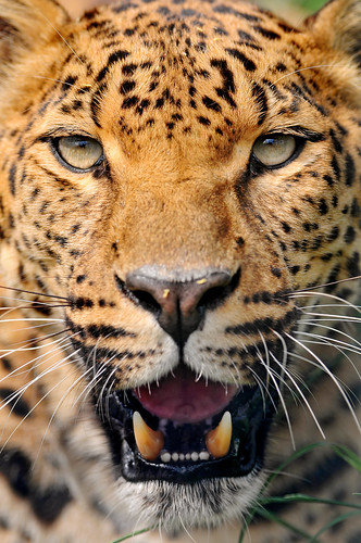 Close Leopard With Open Mouth This Is A Shot I Took Just