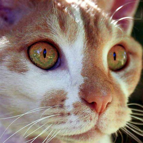 gorgeous orange and green eyed kitty flickr photo sharing