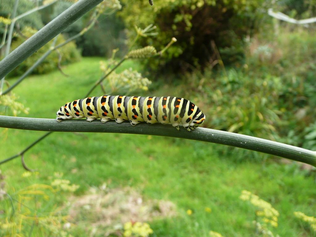2010 courcy zoologie insecte chenille machaon 5 chenille flickr - Chenille verte et noire ...