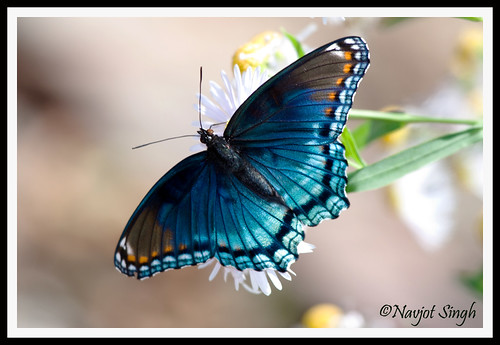 Red-Spotted Purple | by NavjotSingh