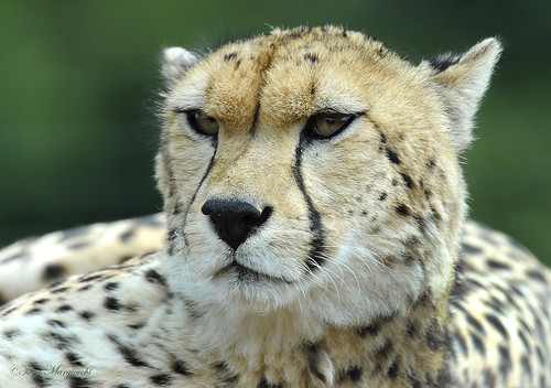 Cheetah | by Tony Margiocchi (Snapperz)