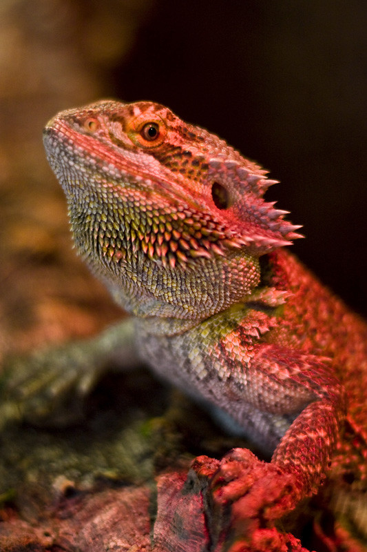Red Bearded Dragon | Bearded dragons are omnivorous ...