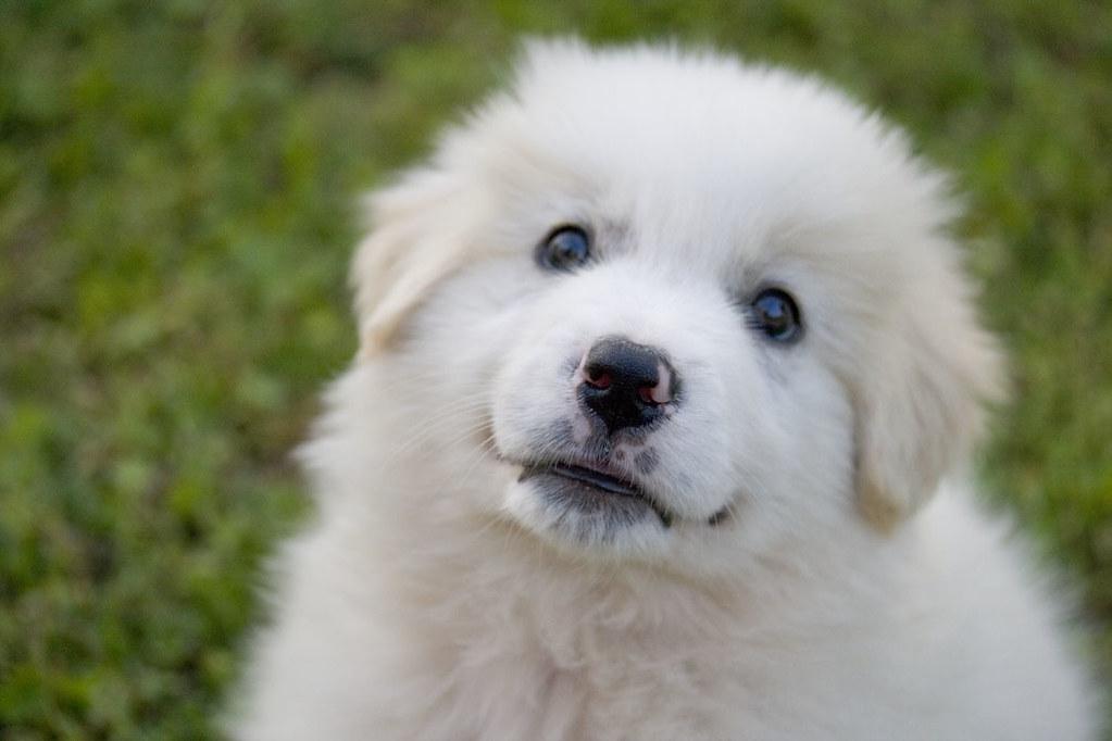 nathan maremma sheepdog puppy 40 days old il mio