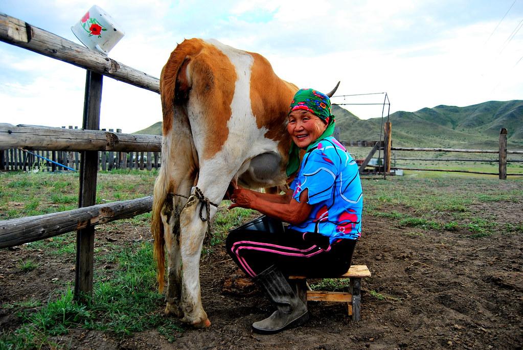 девка доит корову фото