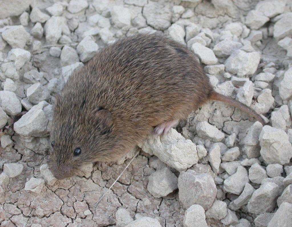 Prairie Vole Microtus Ochrogaster In The Evening I