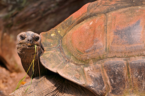 Tortoise and grass | by Tambako the Jaguar