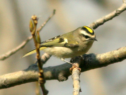 Golden-crowned Kinglet 20100115 | by Kenneth Cole Schneider