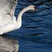 Swan's gone