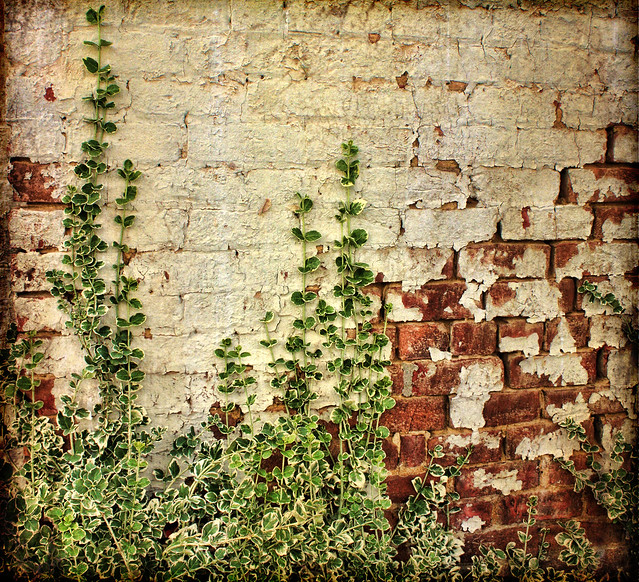 The Vine Still Clings To The Mouldering Wall