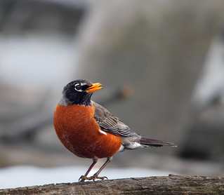 American Robin, Breeding Plumage | by kdee64