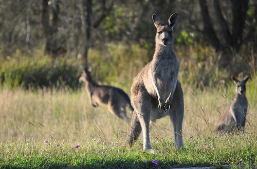 Curious Kangaroos | by Bilby Summerhill