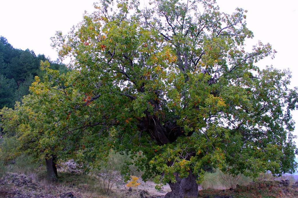 Quercus Congesta Parco dell'Etna...