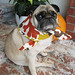 Thanksgiving Pug